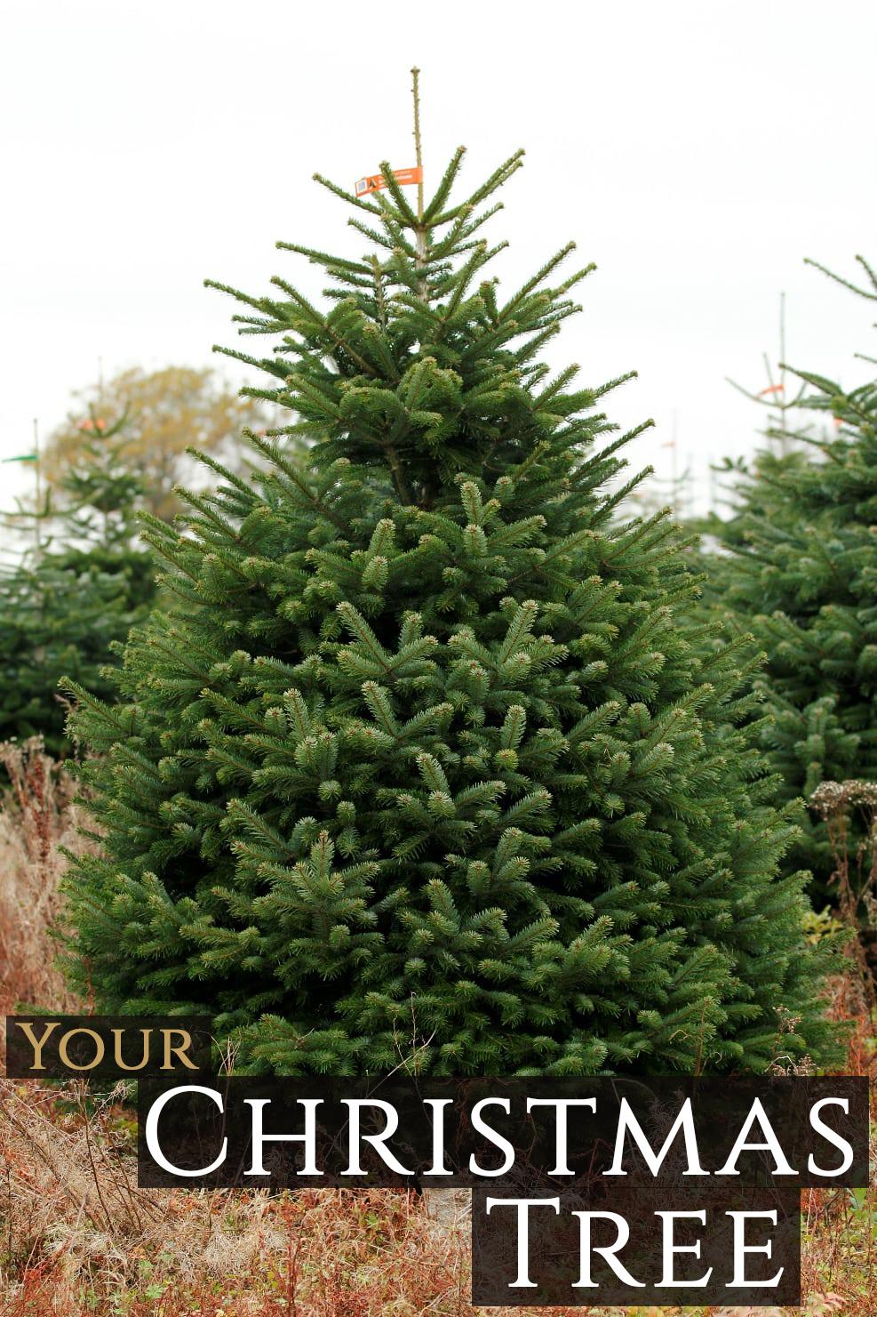 Nordmann Firr Christmas Tree (Various Sizes) - #1 Christmas Trees ...